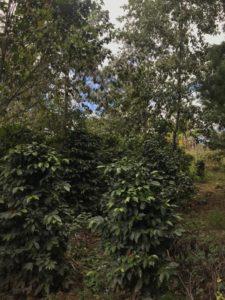 Alträd (alnus acuminata) i Sacala, Guatemala